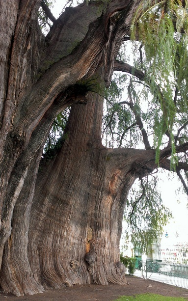 2000-year-old-tree1