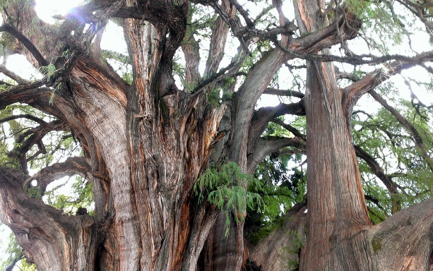 giant-old-tree-oaxaca